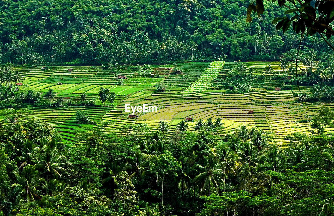 agriculture, nature, field, growth, terraced field, rice paddy, outdoors, tree, no people, landscape, day, beauty in nature, mountain