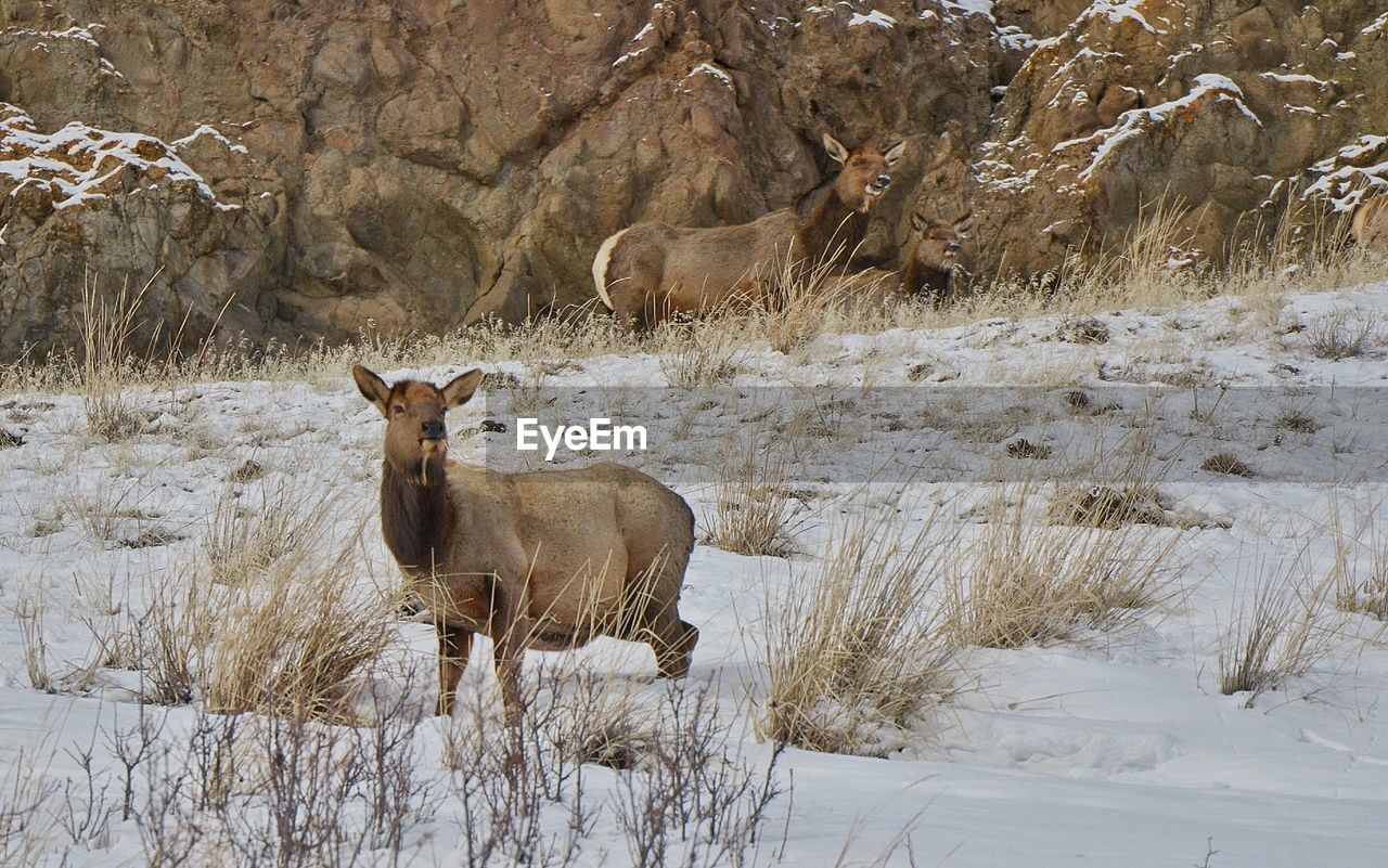 Wild animal on snow covered field
