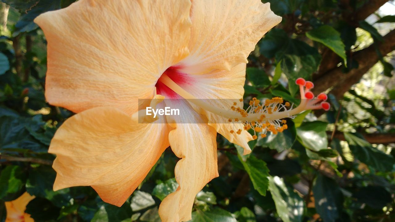flower, petal, fragility, flower head, growth, nature, beauty in nature, plant, freshness, close-up, no people, stamen, outdoors, day, blooming, day lily, hibiscus