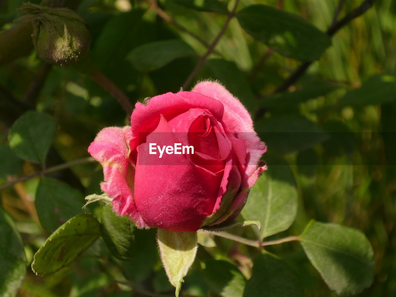 flower, fragility, nature, petal, plant, leaf, growth, beauty in nature, pink color, flower head, rose - flower, day, close-up, no people, freshness, wild rose, outdoors, blooming
