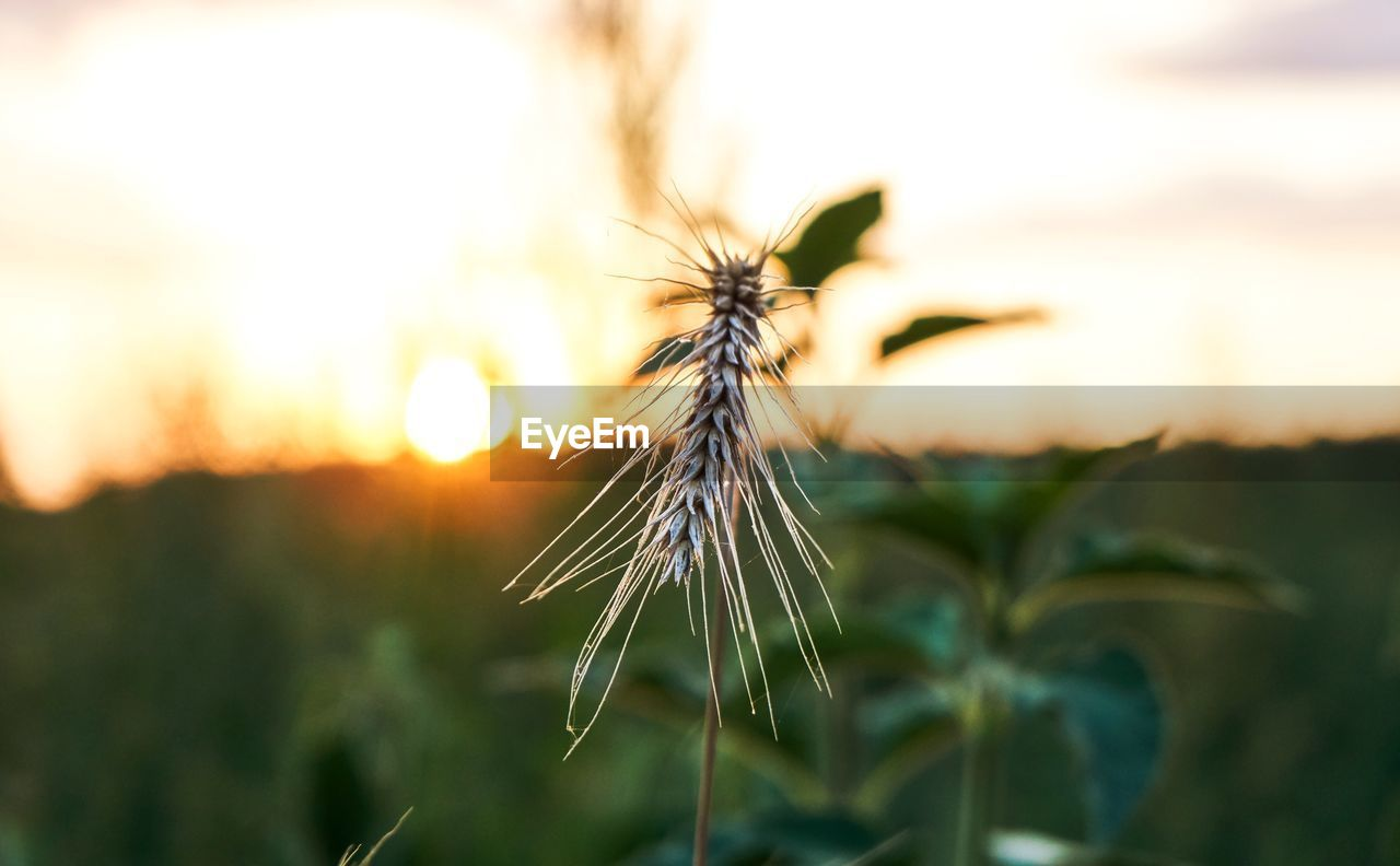 close-up, plant, focus on foreground, nature, growth, beauty in nature, no people, selective focus, sky, sunset, outdoors, fragility, day, vulnerability, field, one animal, tranquility, land, invertebrate, sunlight, dandelion seed