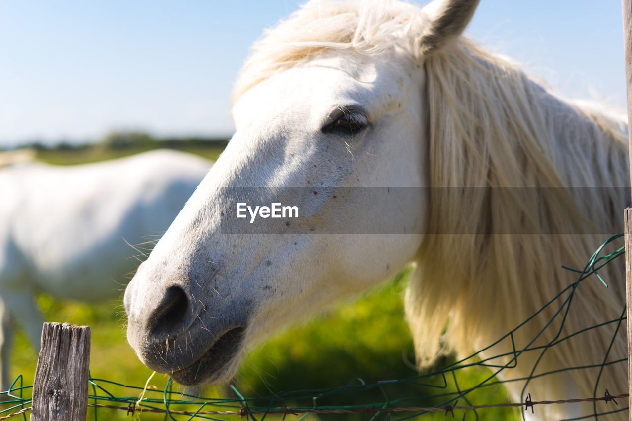 livestock, domestic animals, animal, horse, domestic, mammal, animal themes, pets, one animal, vertebrate, animal wildlife, animal body part, fence, herbivorous, boundary, white color, barrier, close-up, working animal, nature, animal head, no people, outdoors, ranch