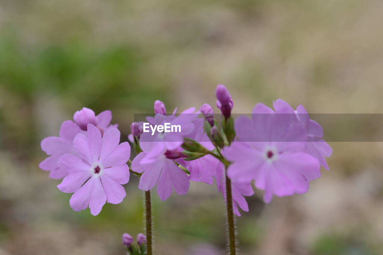 flower, nature, beauty in nature, fragility, petal, growth, plant, outdoors, focus on foreground, freshness, blooming, day, no people, flower head, close-up