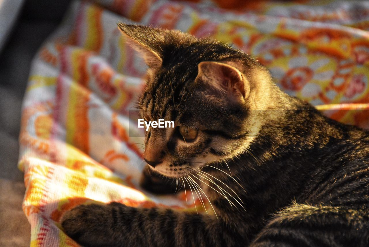 cat, feline, mammal, animal, domestic cat, animal themes, one animal, domestic animals, pets, domestic, vertebrate, no people, close-up, focus on foreground, whisker, indoors, animal body part, animal head, relaxation, home interior, tabby, animal eye