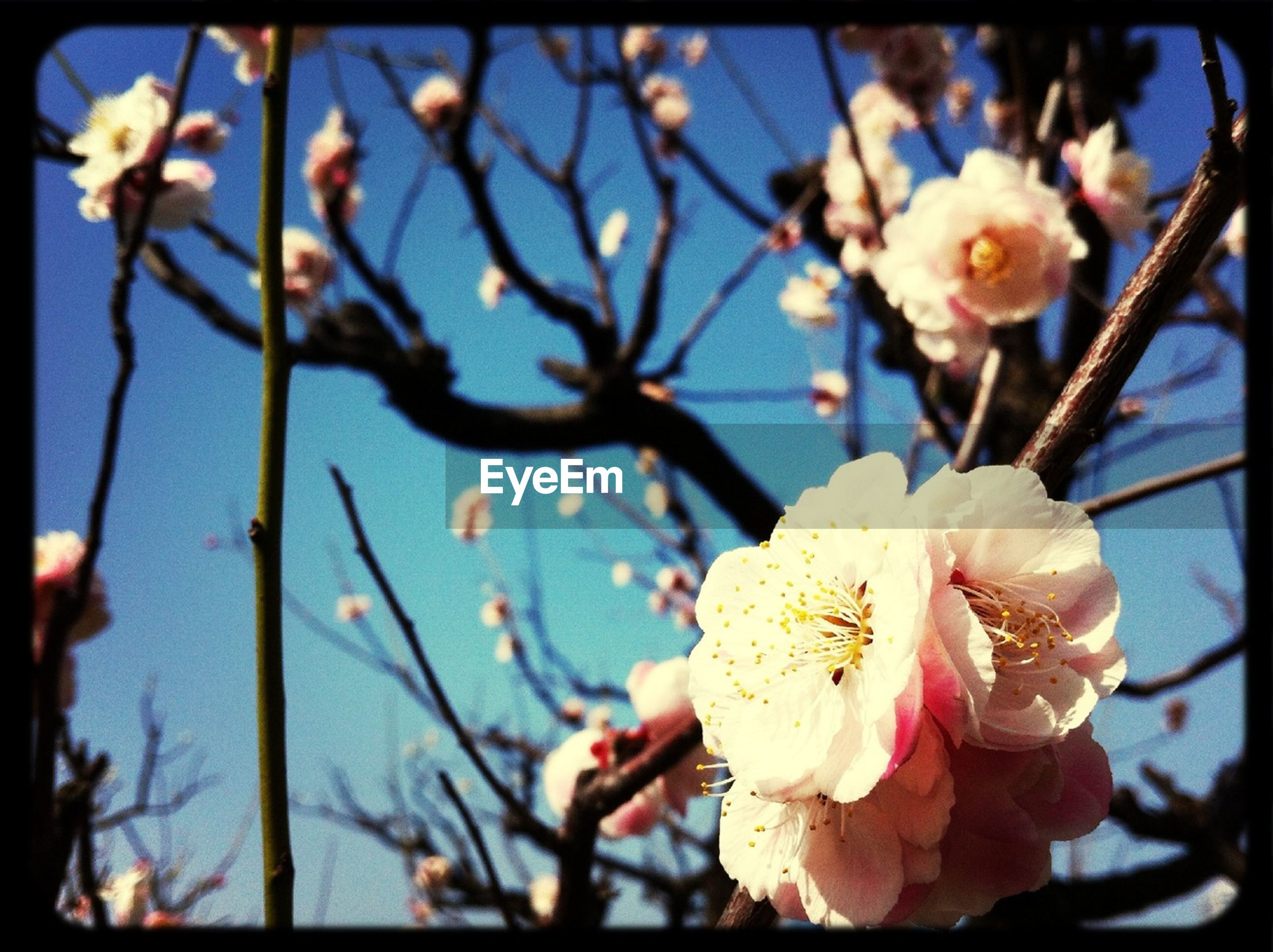 flower, fragility, petal, freshness, flower head, focus on foreground, growth, beauty in nature, close-up, blooming, nature, branch, blossom, in bloom, cherry blossom, tree, plant, stem, day, transfer print