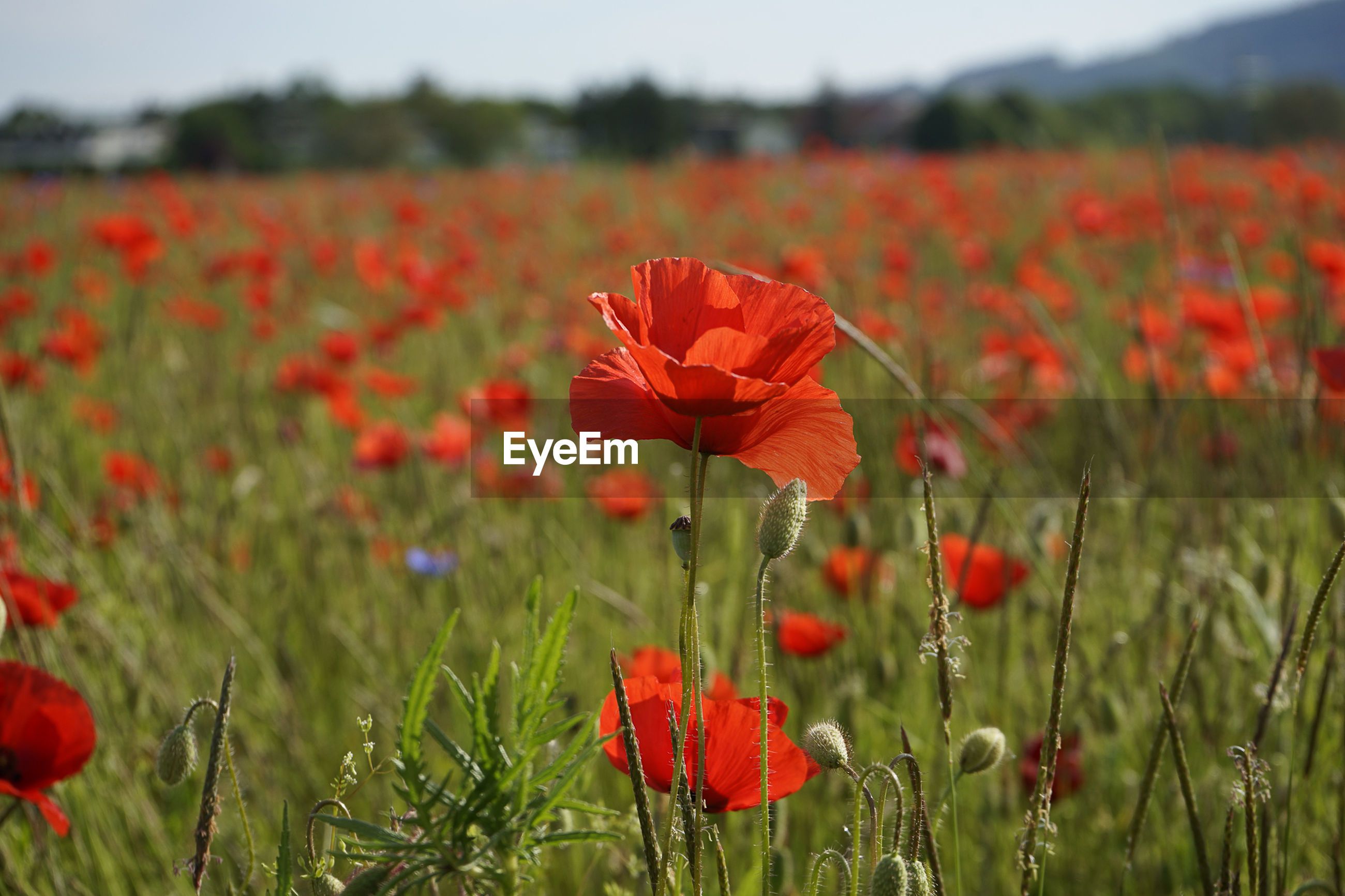 RED POPPY FLOWERS BLOOMING ON FIELD