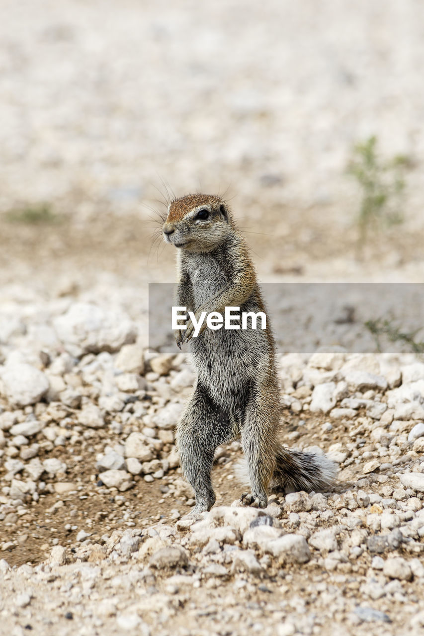 animal themes, animal, animal wildlife, one animal, animals in the wild, mammal, vertebrate, land, day, field, focus on foreground, nature, no people, looking, rodent, solid, meerkat, outdoors, looking away, standing