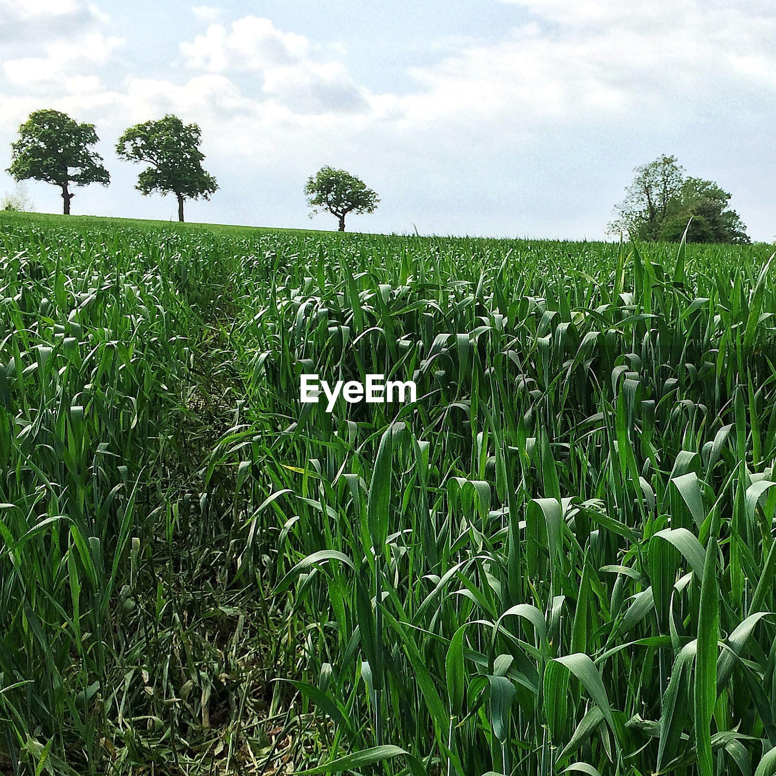Rural scene with corn