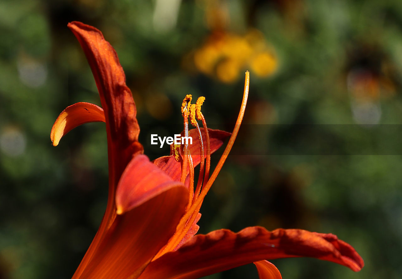 Close-up of orange lily blooming on sunny day
