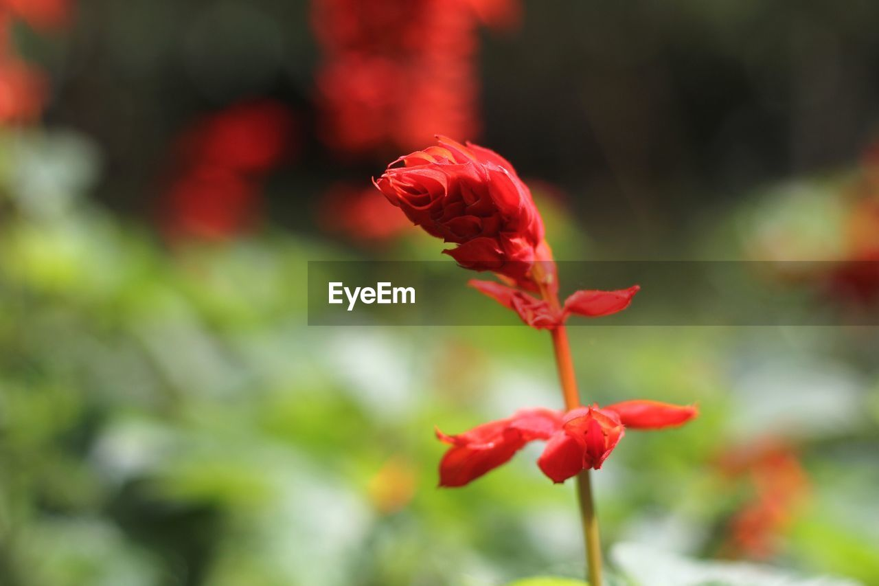 red, flower, growth, nature, petal, beauty in nature, focus on foreground, flower head, freshness, fragility, blooming, day, outdoors, no people, plant, park - man made space, close-up, poppy
