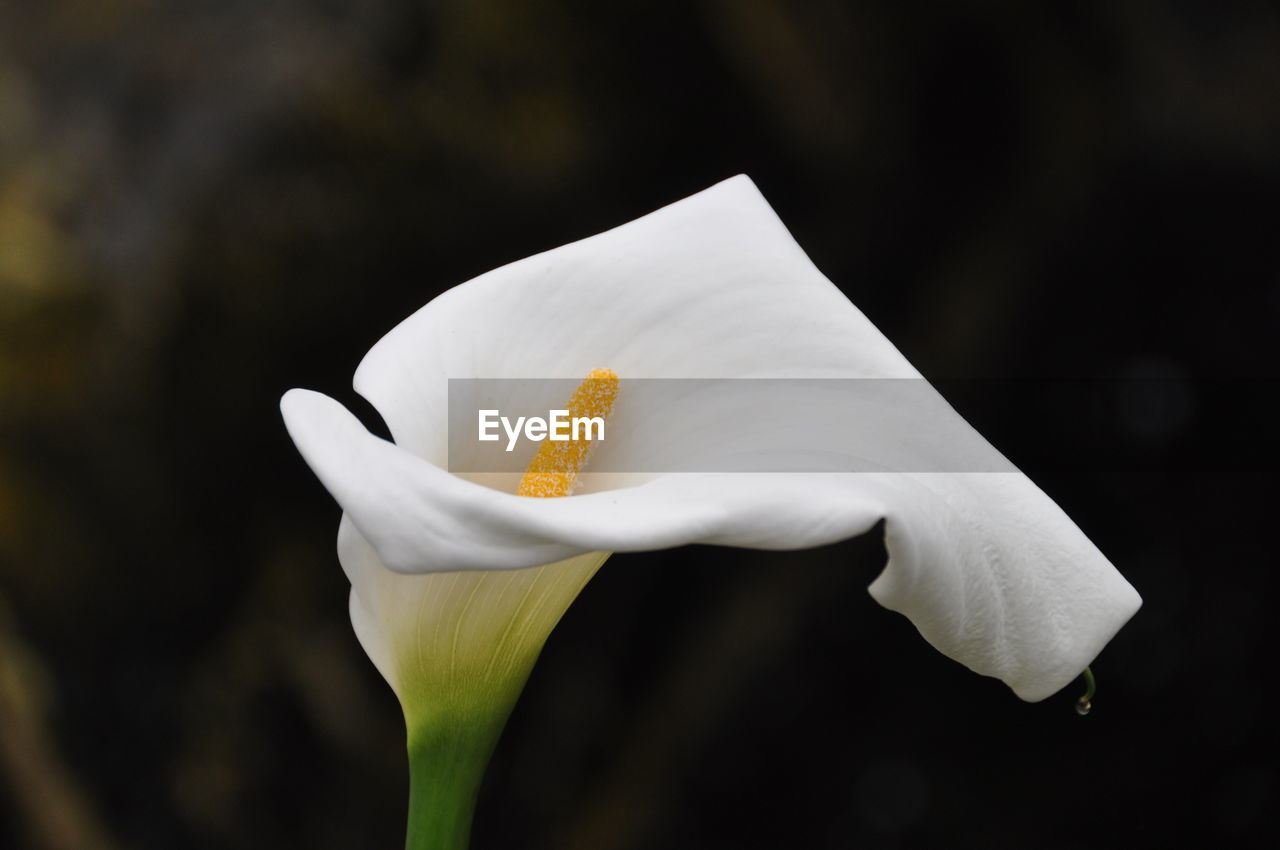Close-Up Of White Lily Blooming Outdoors