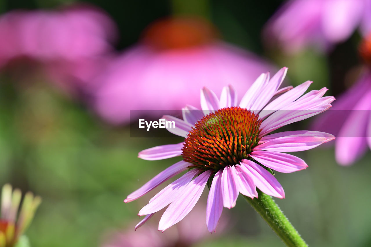 Close up of a pink echinacea flower in bloom