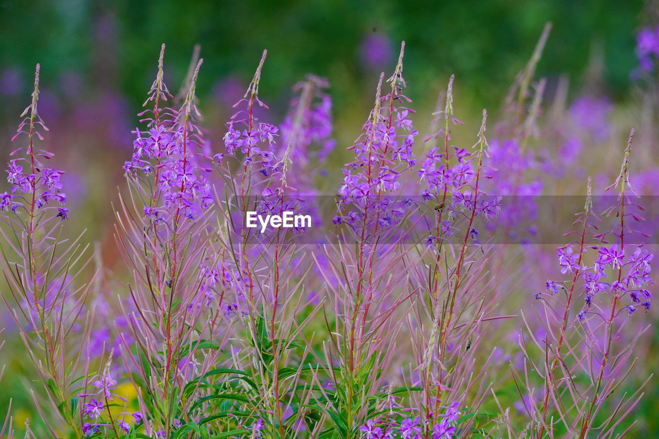plant, flower, flowering plant, growth, purple, beauty in nature, vulnerability, fragility, freshness, field, land, nature, no people, close-up, day, lavender, petal, selective focus, outdoors, focus on foreground, springtime, flower head