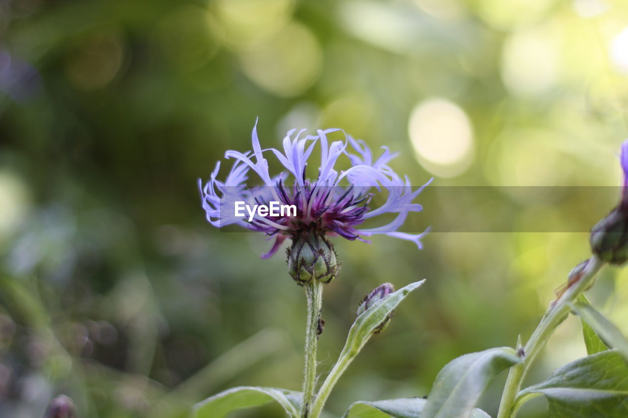 CLOSE-UP OF PURPLE FLOWER BLOOMING IN PARK