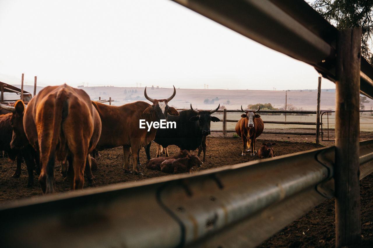 Cows At Farm Against Seen Through Fence
