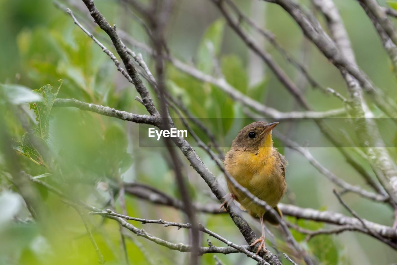animal wildlife, one animal, animal themes, animals in the wild, vertebrate, animal, perching, bird, tree, plant, branch, nature, no people, focus on foreground, day, robin, selective focus, outdoors, close-up, beauty in nature