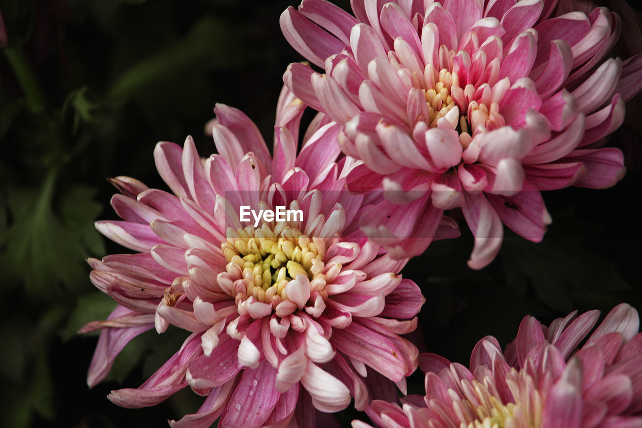 flower, flowering plant, vulnerability, fragility, freshness, plant, petal, pink color, flower head, beauty in nature, inflorescence, close-up, growth, nature, focus on foreground, no people, day, botany, chrysanthemum, pollen, springtime, bunch of flowers, flower arrangement