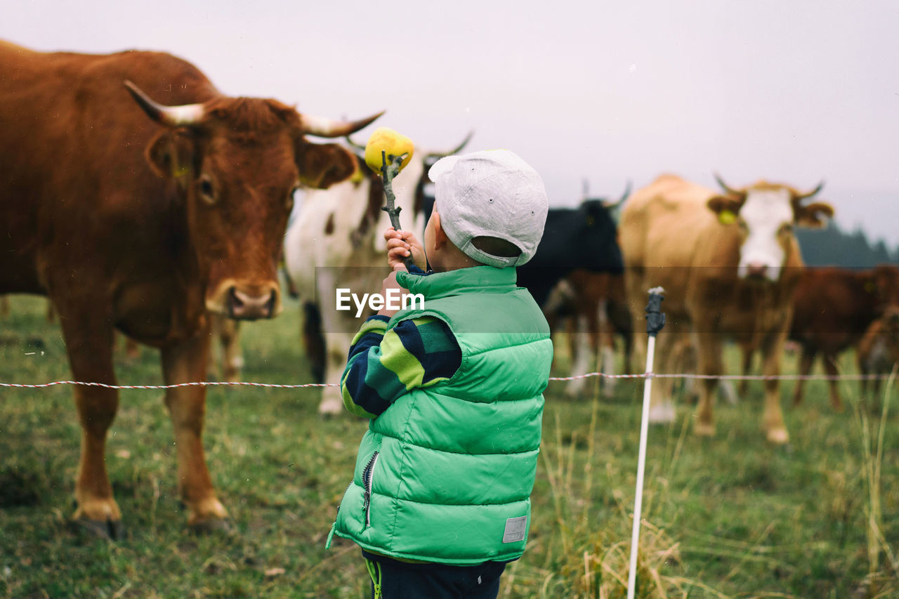 Rear view of boy standing by cows on field