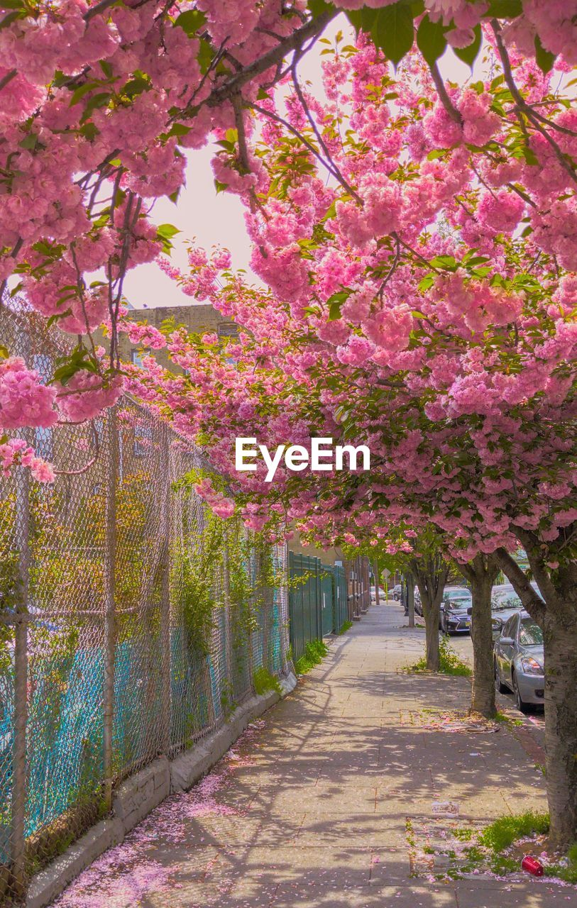 tree, flower, blossom, pink color, beauty in nature, growth, nature, springtime, no people, freshness, fragility, branch, day, outdoors, scenics