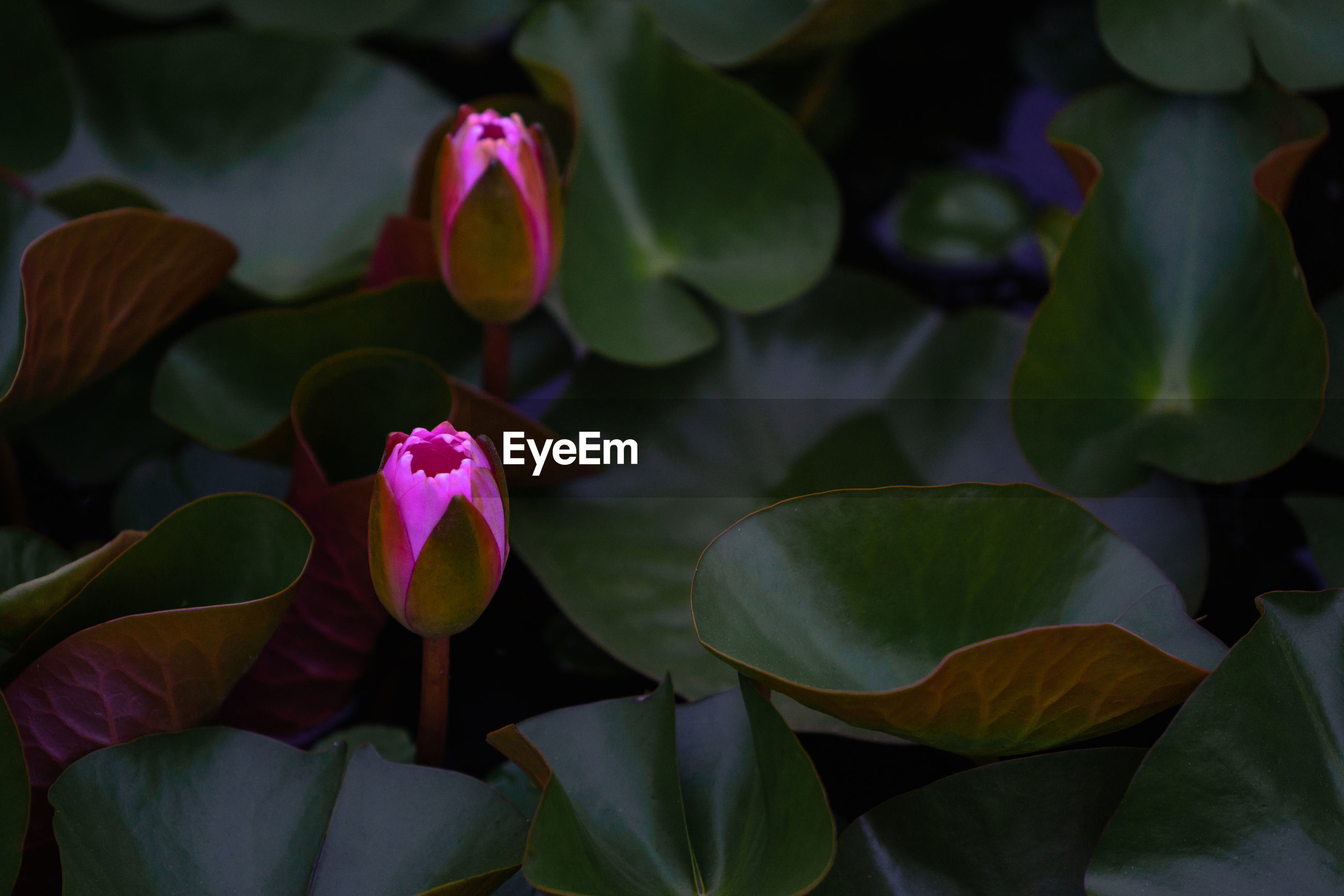 CLOSE-UP OF PINK LOTUS WATER LILY ON PLANT