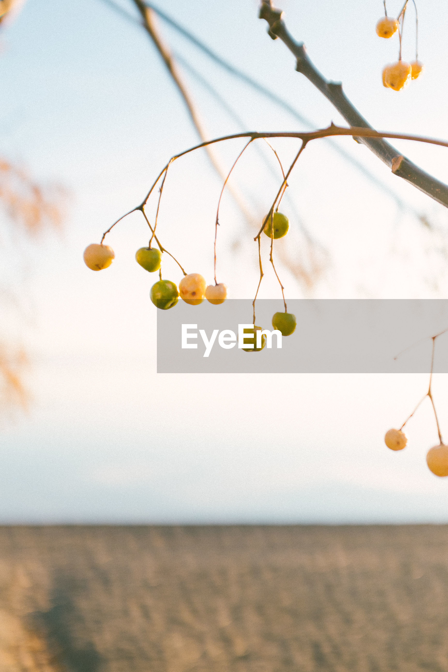 Low angle view of fruits hanging from twigs against sky