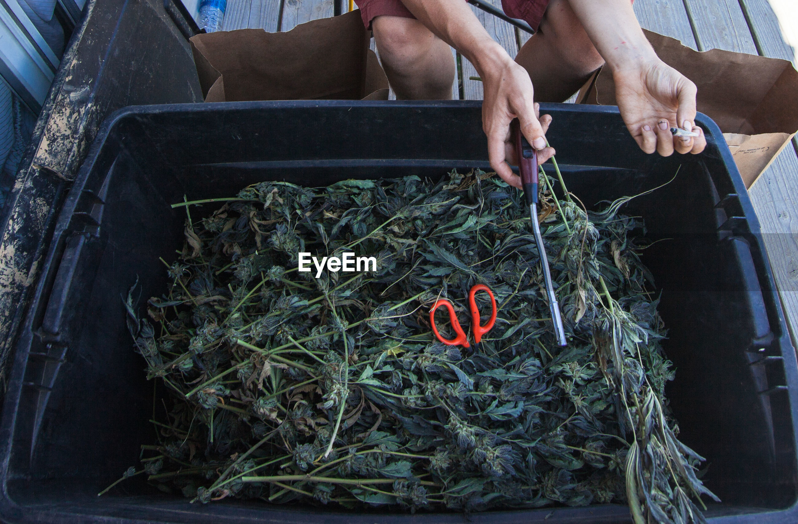 Cannabis plants in crate