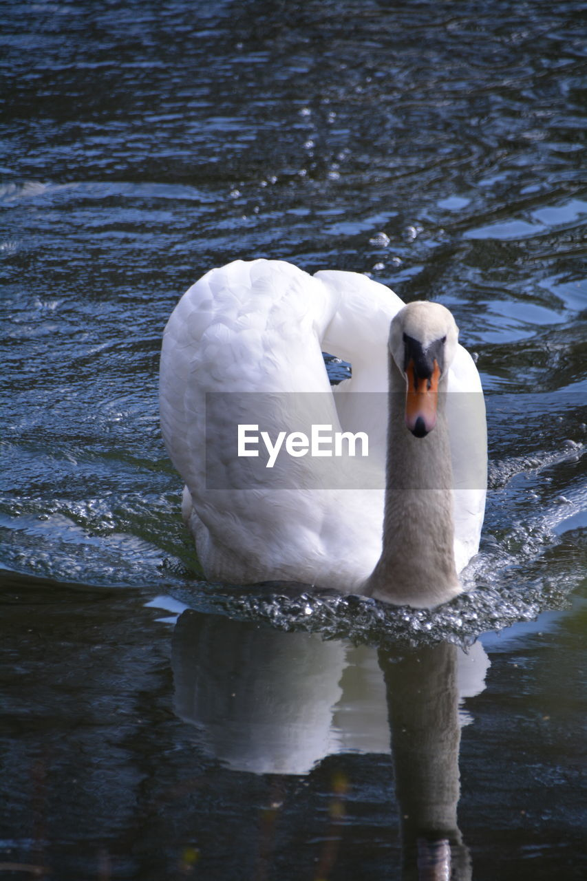 swan, one animal, animals in the wild, bird, animal themes, water, lake, white color, swimming, water bird, animal wildlife, reflection, beak, floating on water, day, no people, nature, waterfront, outdoors, close-up