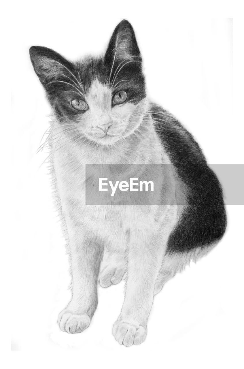 domestic cat, white background, pets, feline, one animal, mammal, domestic animals, portrait, sitting, animal themes, indoors, no people