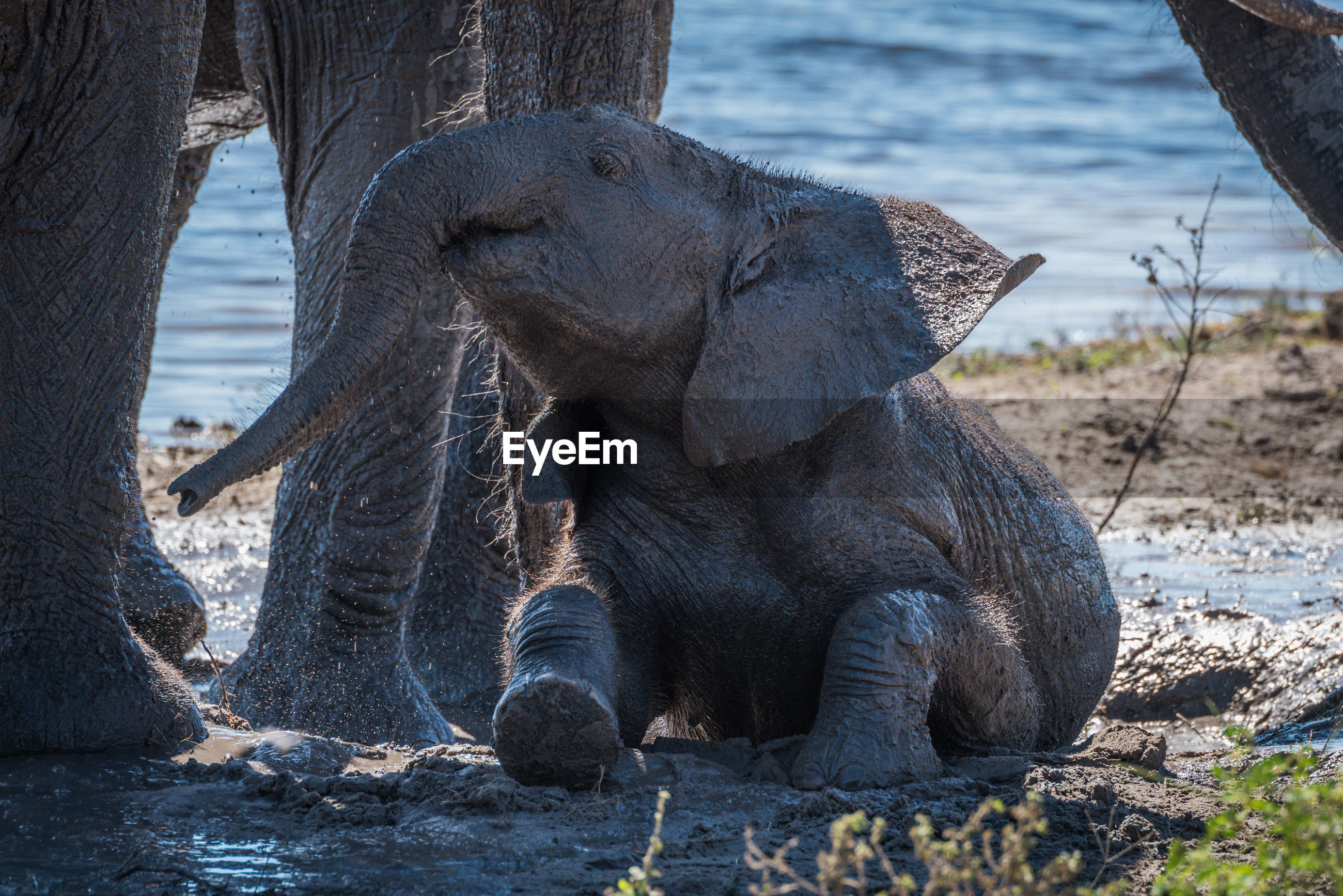 Close-up of elephant calf relaxing in mud