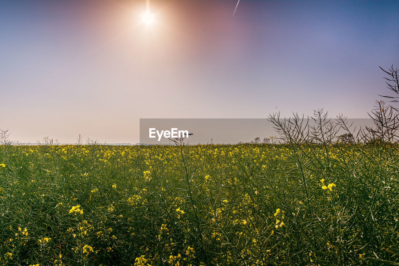 beauty in nature, sky, plant, yellow, field, tranquility, landscape, land, sun, tranquil scene, growth, scenics - nature, environment, flower, flowering plant, nature, rural scene, sunlight, no people, clear sky, outdoors, lens flare, bright