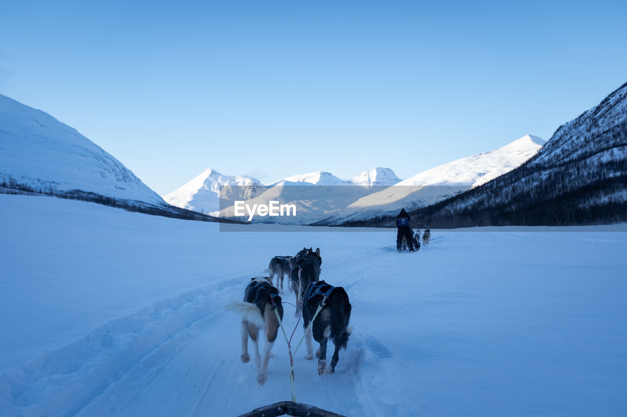 Sled dogs pulling with mountainous background. norway. point of view.