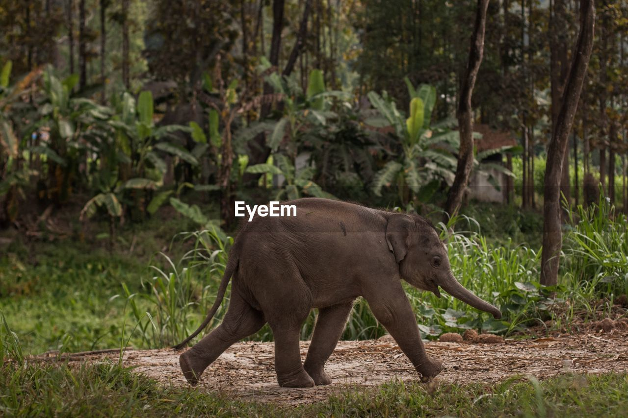 animal themes, animal, one animal, mammal, animals in the wild, animal wildlife, plant, land, forest, tree, vertebrate, nature, walking, day, side view, no people, full length, outdoors, field, profile view