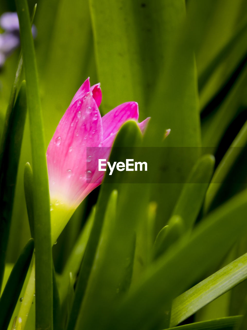 flower, growth, petal, beauty in nature, nature, drop, freshness, green color, fragility, plant, pink color, leaf, flower head, wet, close-up, water, no people, raindrop, outdoors, day, blooming