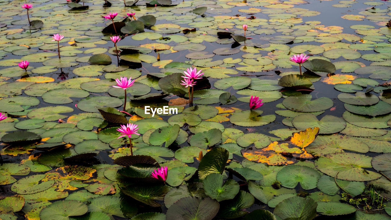 leaf, plant part, flower, flowering plant, plant, beauty in nature, vulnerability, fragility, freshness, growth, pink color, lake, petal, nature, water lily, floating, floating on water, day, no people, flower head, outdoors, lotus water lily, springtime, leaves
