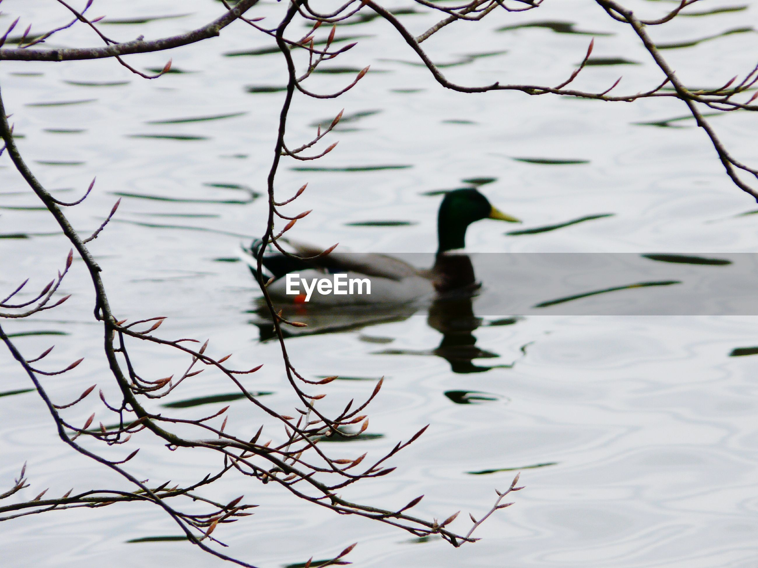 High Angle View Of Bare Twigs Against Duck Swimming In Lake