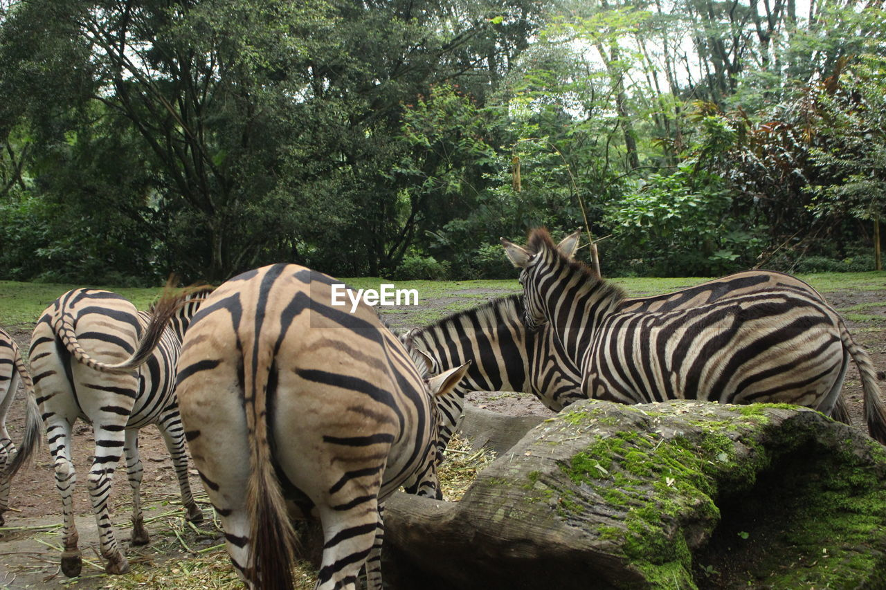 tree, plant, animal themes, animal, animal wildlife, animals in the wild, mammal, zebra, group of animals, striped, nature, forest, no people, vertebrate, land, day, animal markings, safari, field, domestic animals, herbivorous, outdoors, zoo, herd
