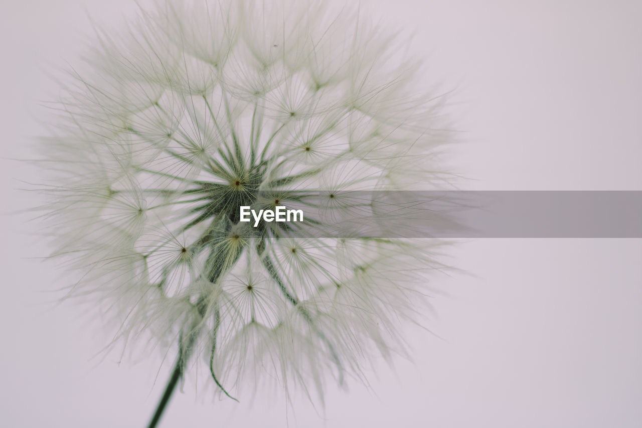 flower, fragility, flowering plant, vulnerability, plant, dandelion, freshness, inflorescence, close-up, flower head, beauty in nature, no people, studio shot, growth, nature, dandelion seed, white color, petal, white background, softness