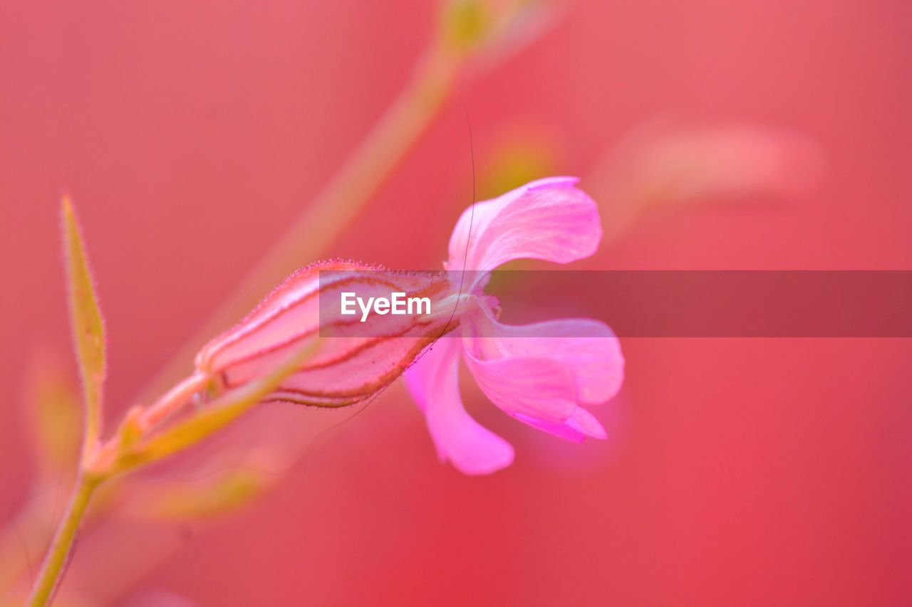 beauty in nature, plant, close-up, flower, flowering plant, fragility, freshness, vulnerability, growth, pink color, petal, selective focus, nature, no people, inflorescence, flower head, plant stem, day, pollen, outdoors, sepal