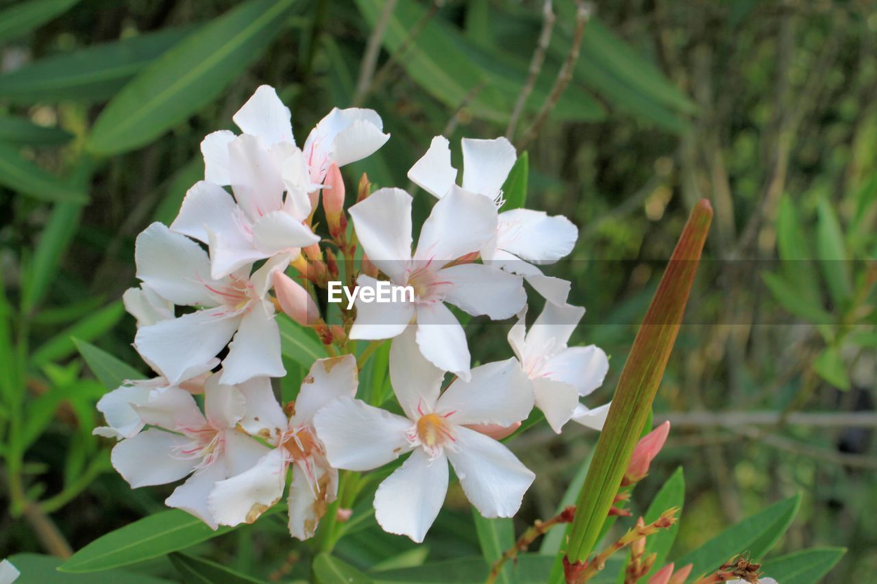 flower, flowering plant, plant, beauty in nature, freshness, petal, fragility, growth, vulnerability, close-up, white color, flower head, inflorescence, focus on foreground, day, no people, nature, blossom, springtime, outdoors