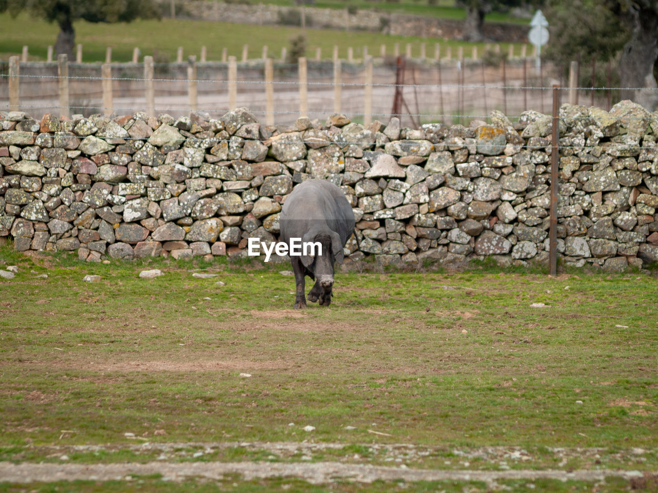 animal, animal themes, mammal, domestic animals, grass, vertebrate, one animal, domestic, livestock, field, pets, plant, day, animal wildlife, land, no people, nature, landscape, agriculture, full length, outdoors, stone wall, herbivorous