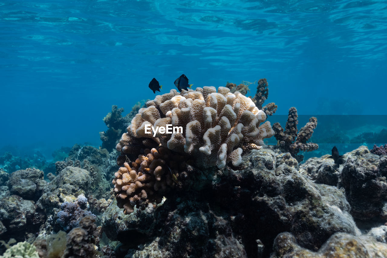 Coral outcrop with tropical fish off the coast of moorea, french polynesia