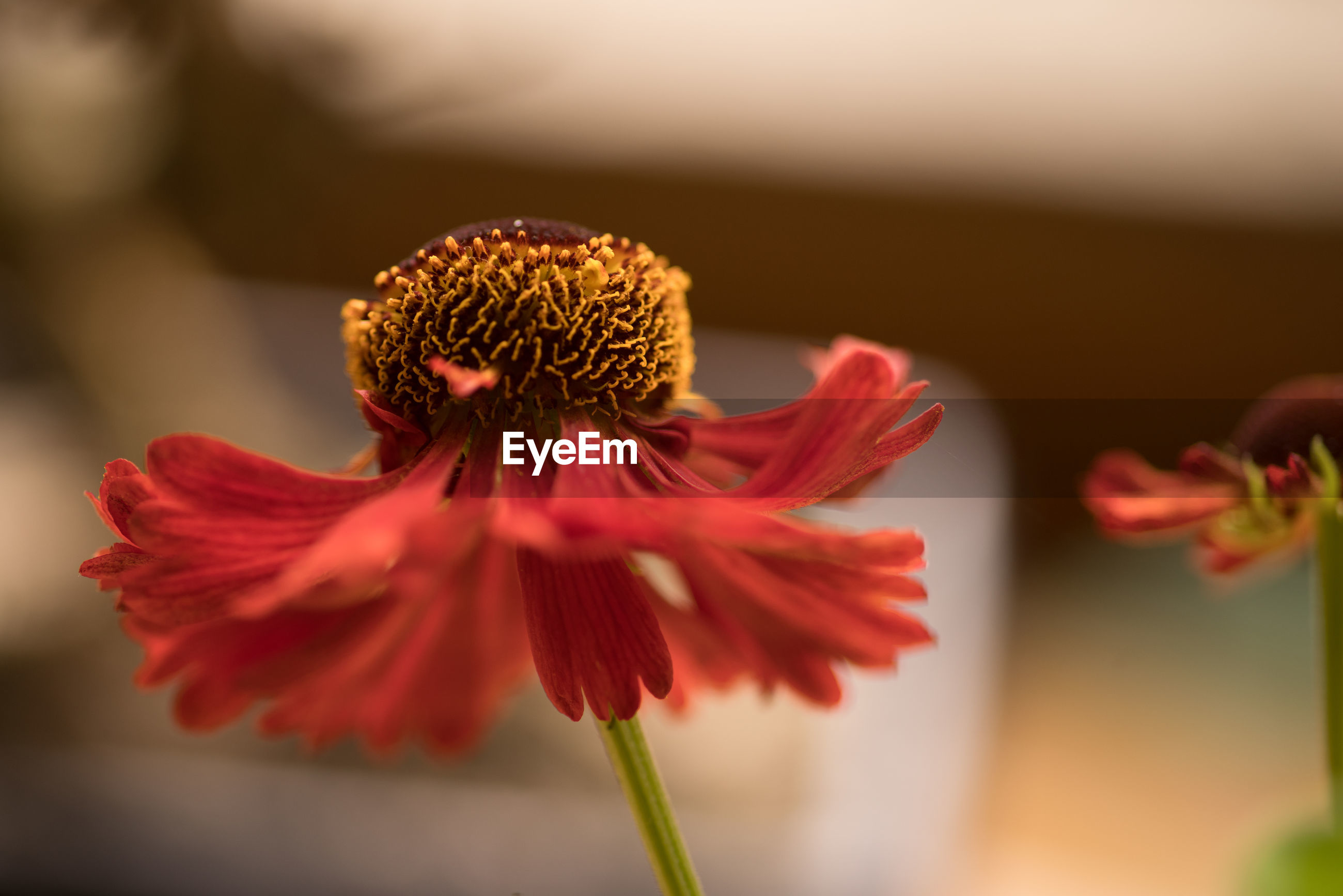 CLOSE-UP OF RED FLOWER BLOOMING