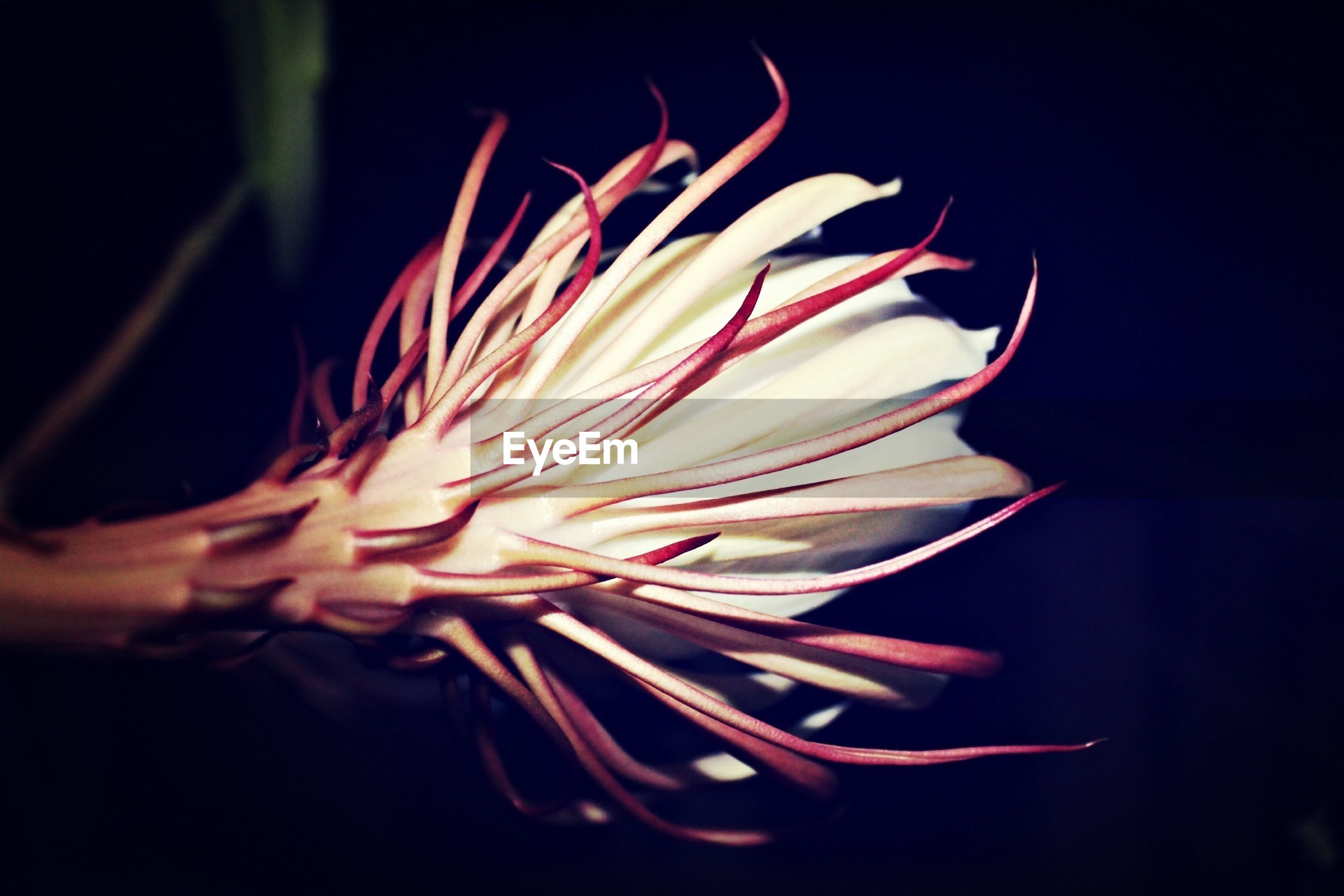 flower, petal, flower head, black background, freshness, fragility, studio shot, single flower, close-up, beauty in nature, growth, nature, pollen, stamen, night, plant, blooming, selective focus, no people, focus on foreground