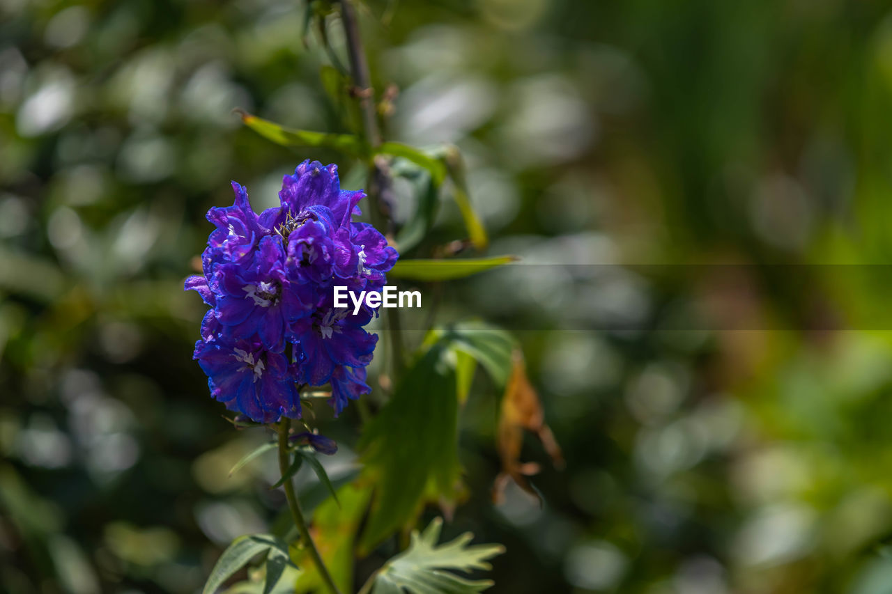flowering plant, flower, vulnerability, plant, beauty in nature, fragility, freshness, purple, growth, close-up, inflorescence, petal, flower head, nature, day, no people, focus on foreground, green color, botany, leaf