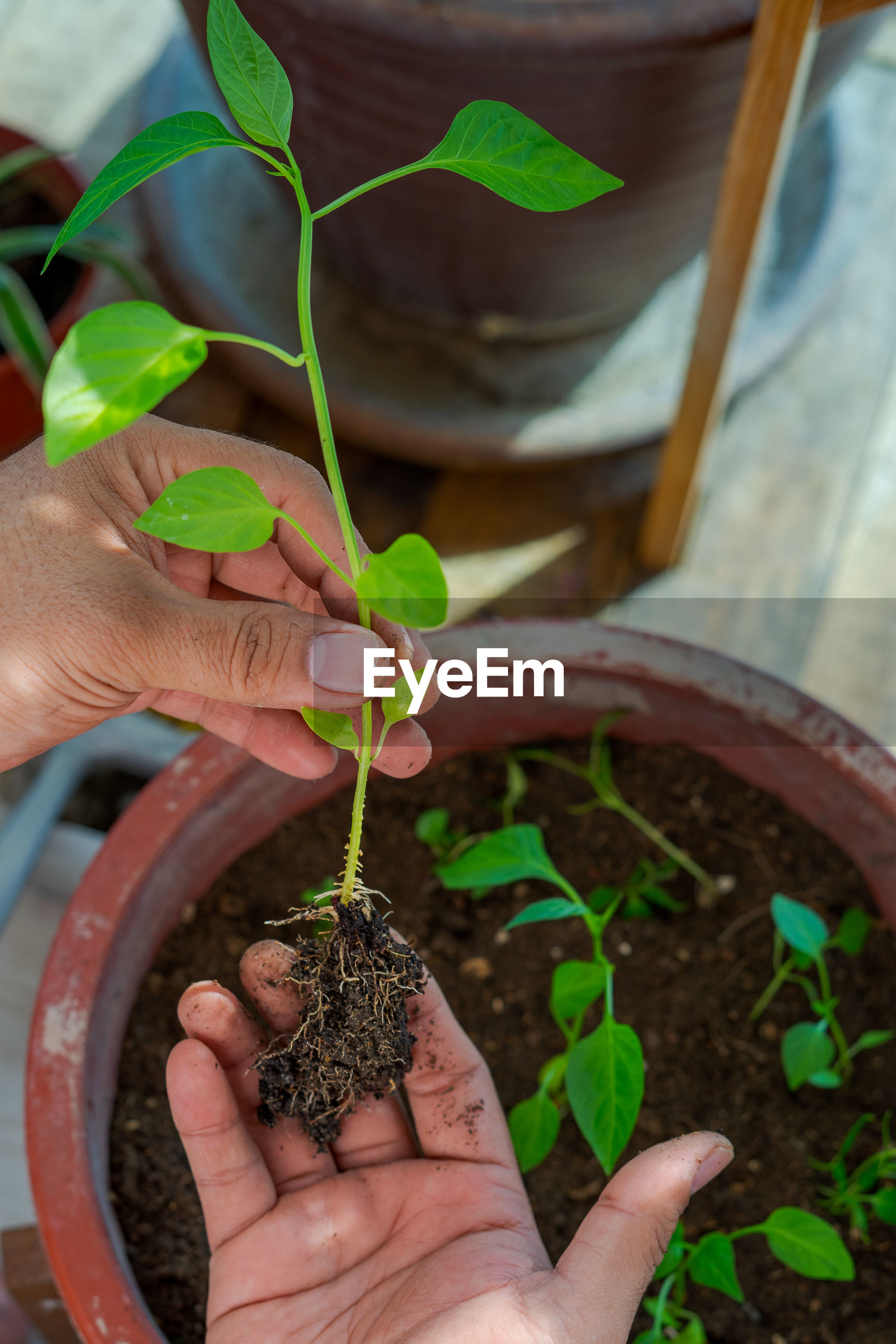CROPPED IMAGE OF PERSON HOLDING POTTED PLANT OUTDOORS