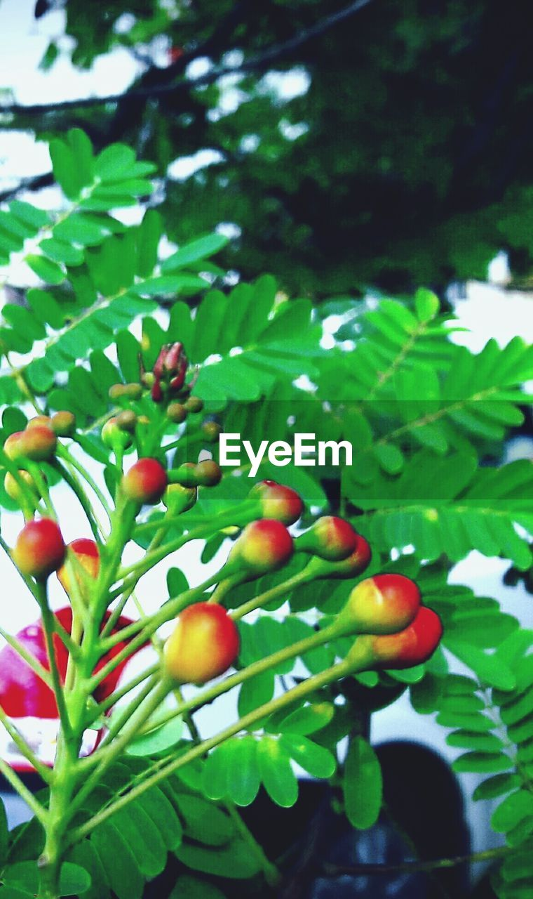 fruit, food and drink, growth, tree, food, green color, day, growing, leaf, outdoors, healthy eating, freshness, nature, focus on foreground, red, low angle view, no people, branch, beauty in nature, close-up