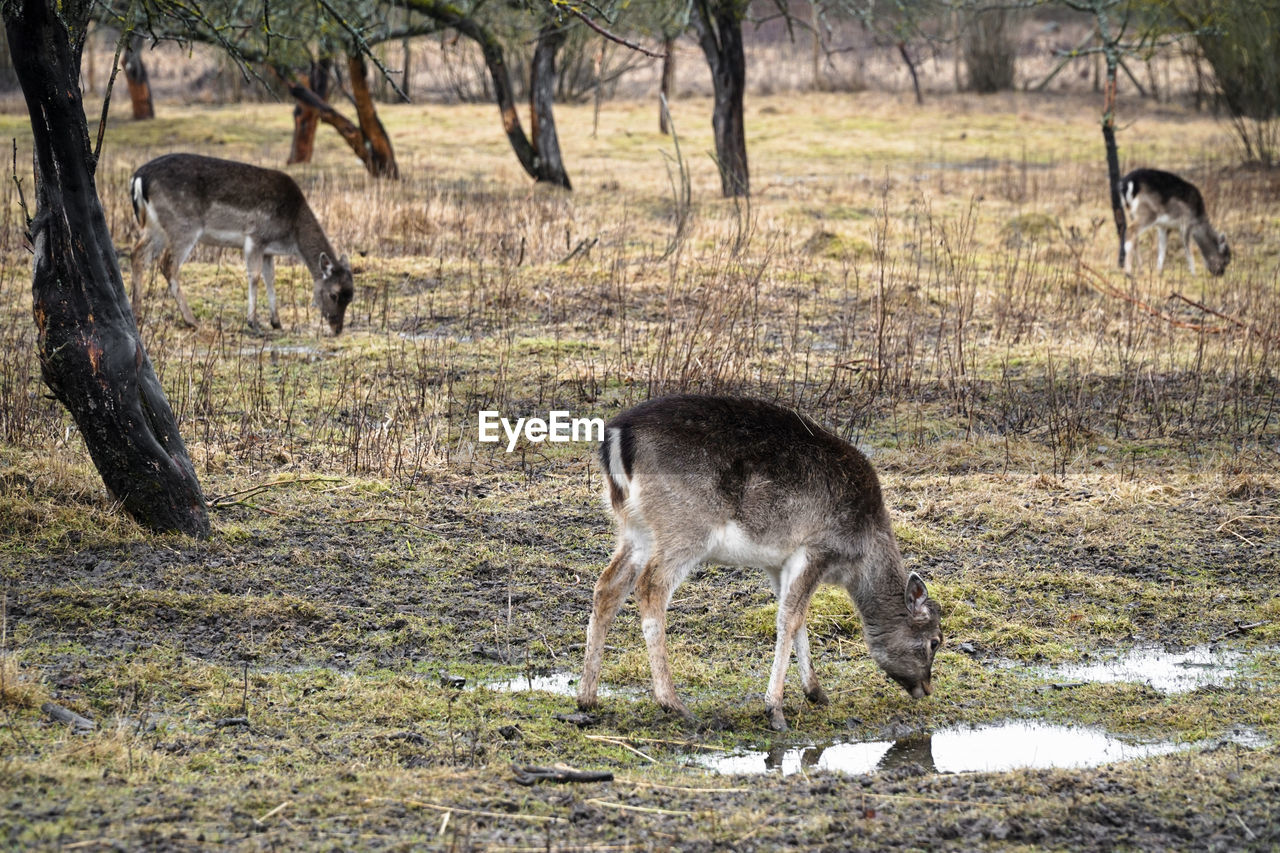animal, animal themes, mammal, animals in the wild, animal wildlife, land, no people, field, plant, tree, standing, full length, grass, deer, vertebrate, group of animals, nature, day, domestic animals, outdoors, herbivorous