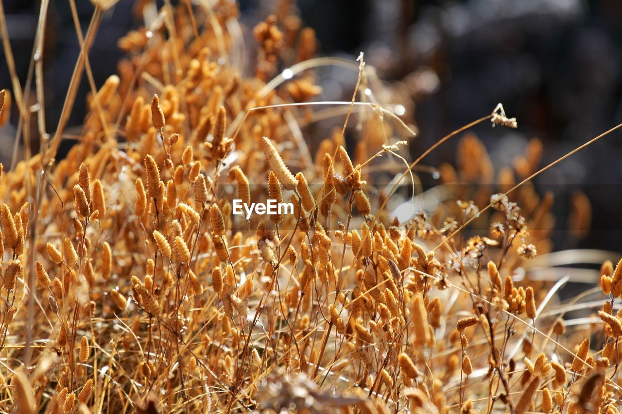 nature, growth, plant, no people, day, outdoors, field, dried plant, beauty in nature, close-up, grass, fragility, freshness