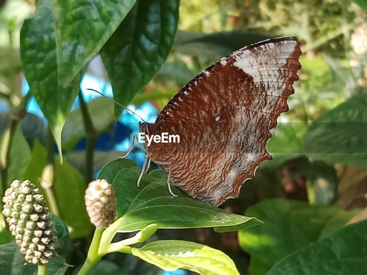 plant part, leaf, beauty in nature, plant, butterfly - insect, close-up, animal wing, animal wildlife, nature, growth, insect, no people, invertebrate, animals in the wild, one animal, animal, day, fragility, flower, animal themes, butterfly, outdoors, leaves, pollination