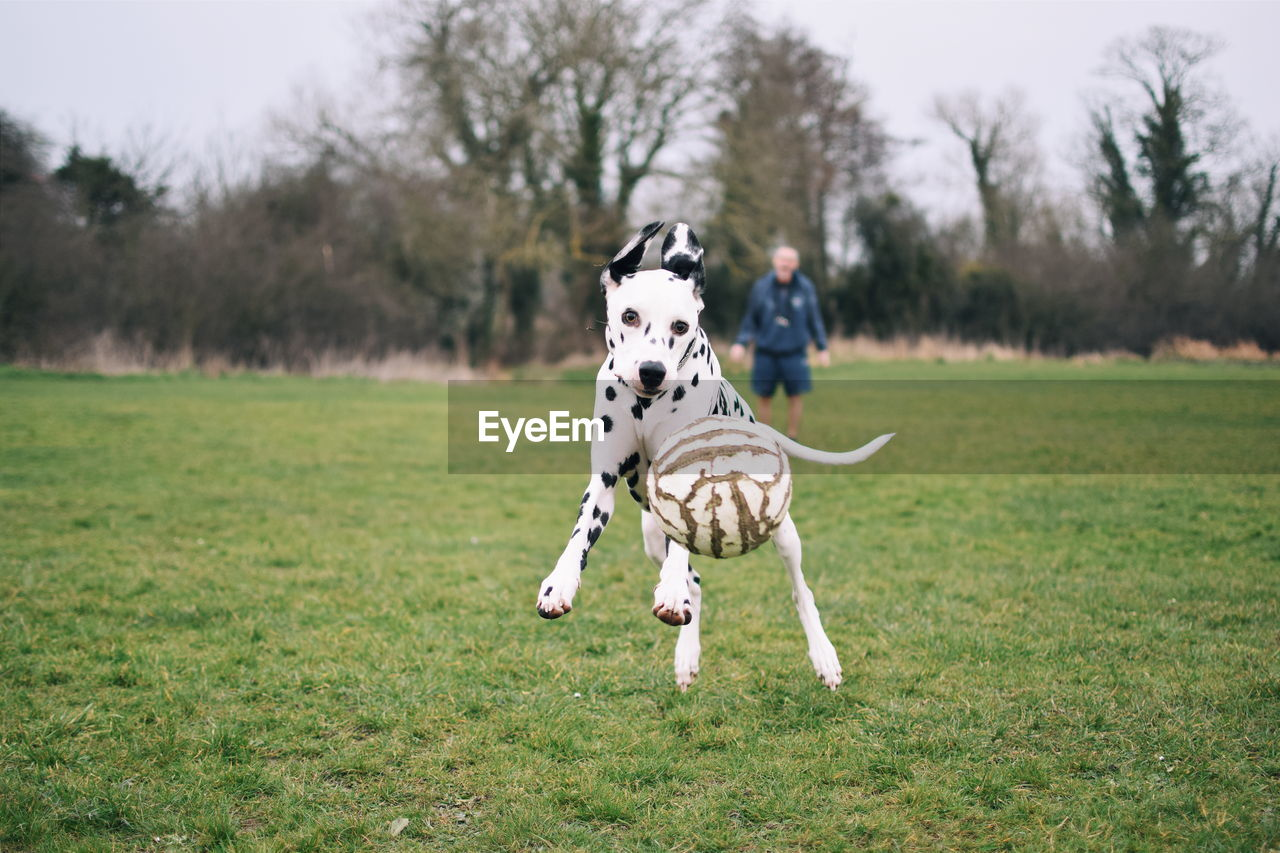 Dalmatian Dog Playing With Ball On Field